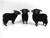 Black Welsh Mountain Rams