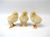 Chicks Set of 3